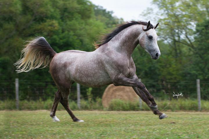 Rogers arabians spanish and related arabian horses stallions mares foals for sale kansas - Arabian horse pics ...